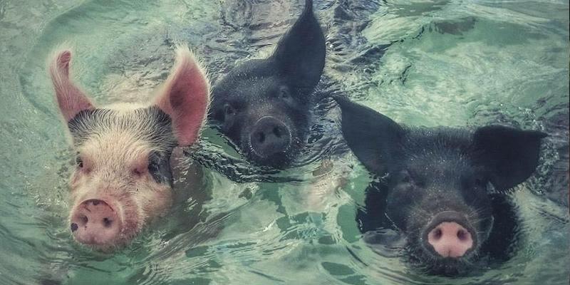 Pig Beach, Bahamas